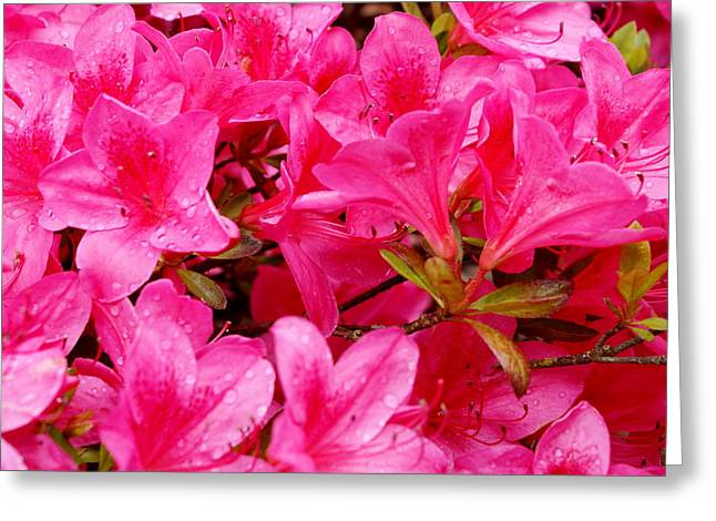 Bright Pink Rhododendrons Greeting Card by Sonja Anderson