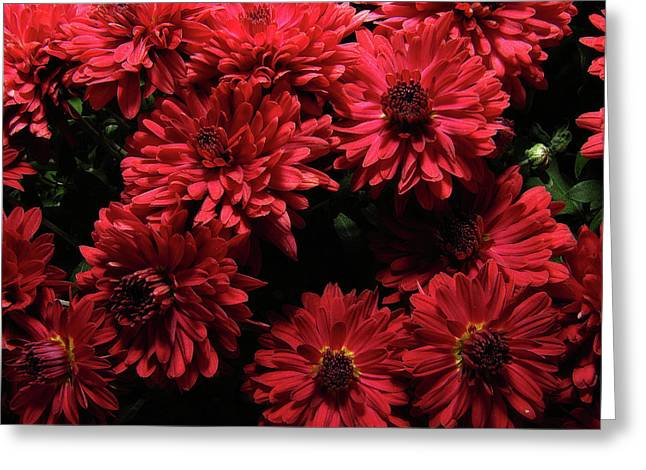 Bright Red Mums Greeting Card by Scott Hovind