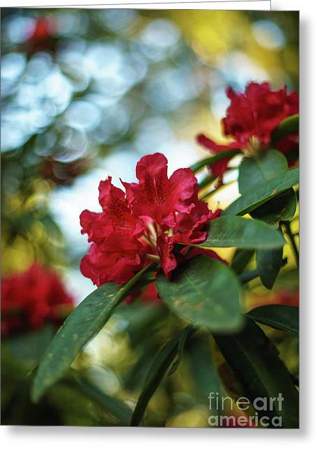 Bright Red Rhododendron Greeting Card by Mike Reid