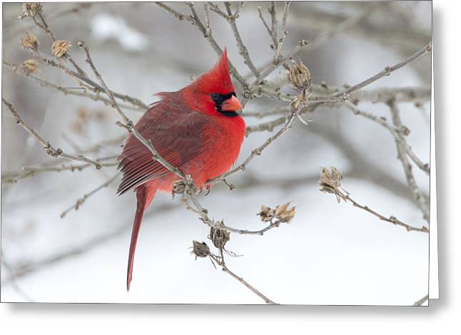 Bright Splash Of Red On A Snowy Day Greeting Card