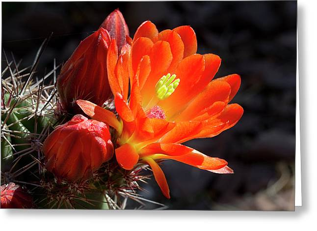 Bright Tangerine Cactus Flower Greeting Card by Phyllis Denton