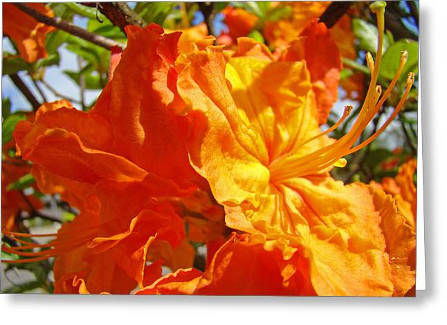 Rhodie Greeting Cards - Bright Vivid Orange Floral Rhodies Rhododendrons Baslee Troutman Greeting Card by Baslee Troutman