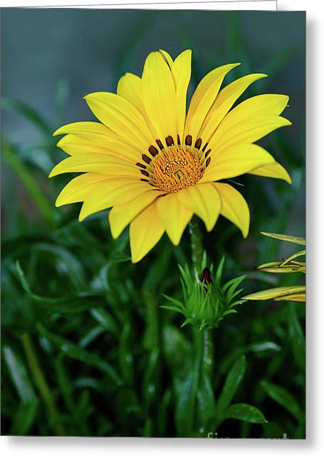 Greeting Card featuring the photograph Bright Yellow Gazania By Kaye Menner by Kaye Menner