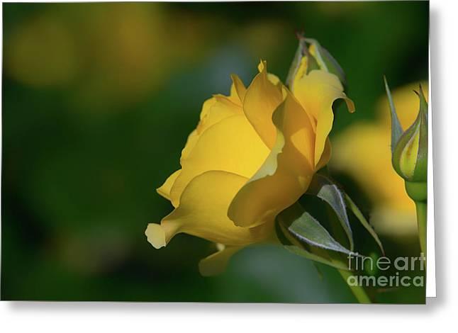 Bright Yellow Walking On Sunshine Rose Greeting Card