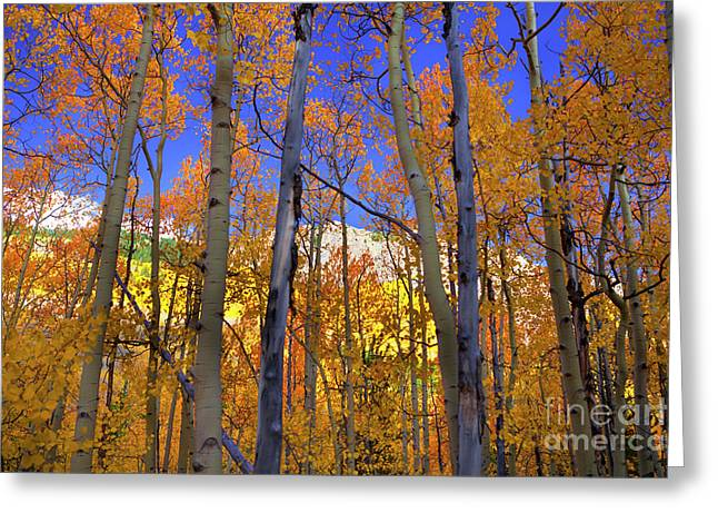 Brilliance Of Fall Greeting Card by Barbara Schultheis