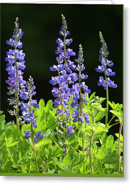 Greeting Card featuring the photograph Brilliant Lupines by Elvira Butler