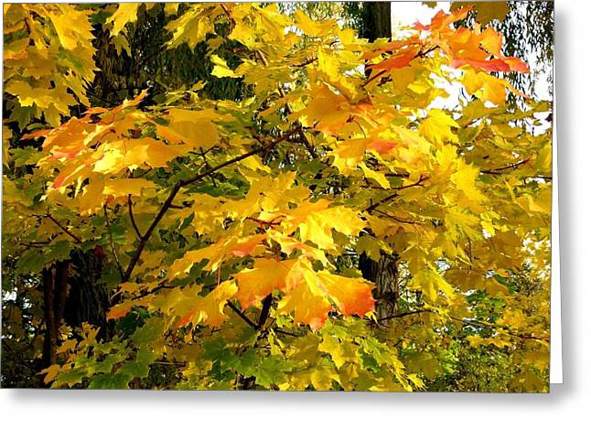 Greeting Card featuring the photograph Brilliant Maple Leaves by Will Borden