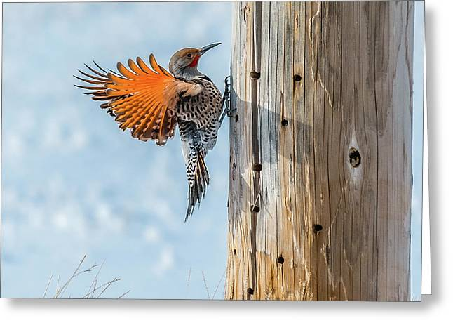 Brilliant Northern Flicker Woodpecker Greeting Card by Yeates Photography