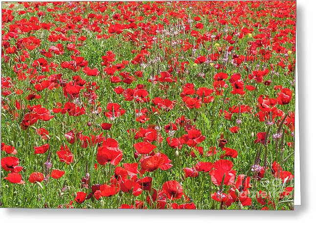 Greeting Card featuring the photograph Brilliant Poppies, Italy. by Brenda Tharp