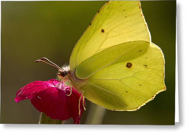 Greeting Card featuring the photograph Brimstone 2 by Jouko Lehto