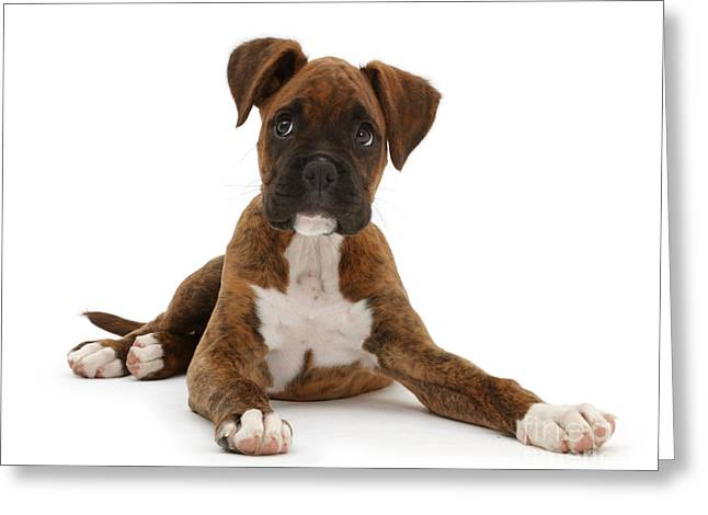 Brindle Boxer Puppy Greeting Card by Mark Taylor