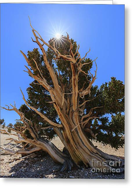 Bristlecone Pine Forest Greeting Card by Henk Meijer Photography