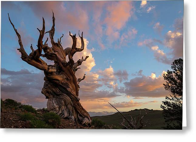Bristlecone Pine Sunset Greeting Card