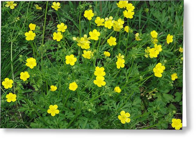 Bristly Buttercup Greeting Card by Robyn Stacey