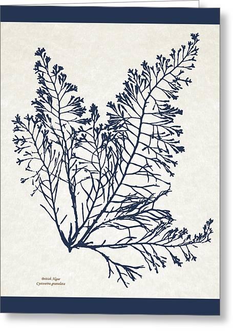 British Algae Cystoseira Granulata Greeting Card by Christina Rollo