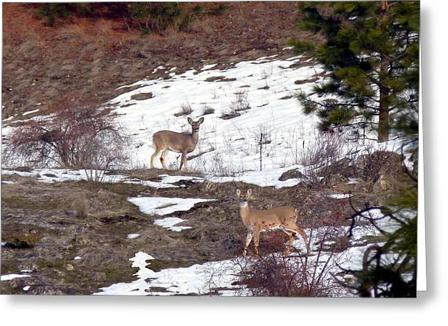 British Columbia Deer  Greeting Card by Will Borden