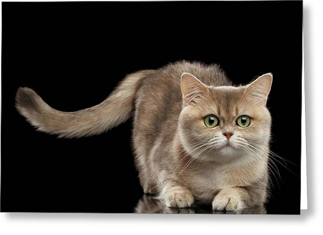 Brittish Cat With Curve Tail On Black Greeting Card