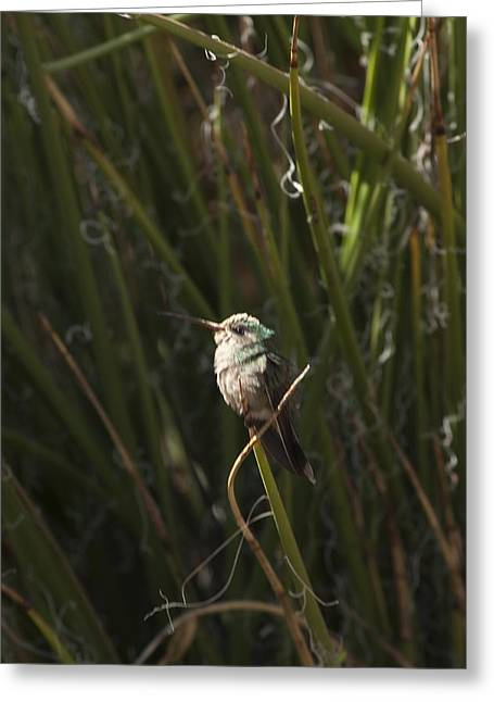 Greeting Card featuring the photograph Broad Billed Humming Bird Fem by Daniel Hebard