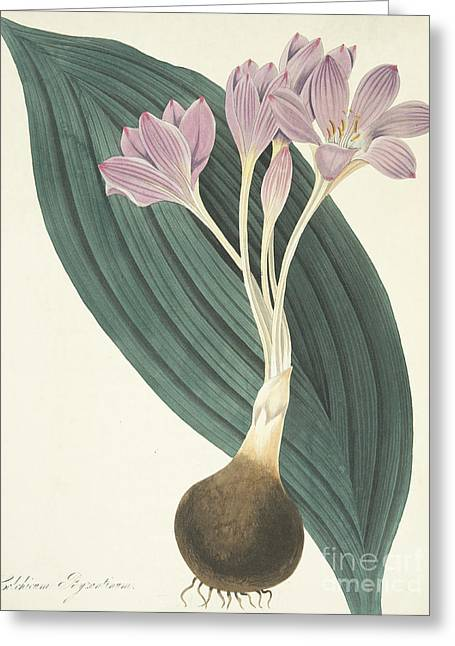 Broad-leaved Meadow Saffron Greeting Card by Margaret Roscoe