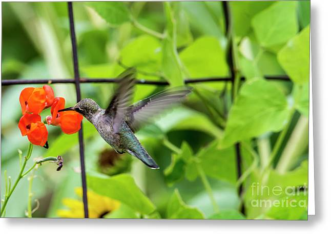 Broad-tailed Hummingbird 2 - Utah Greeting Card by Gary Whitton