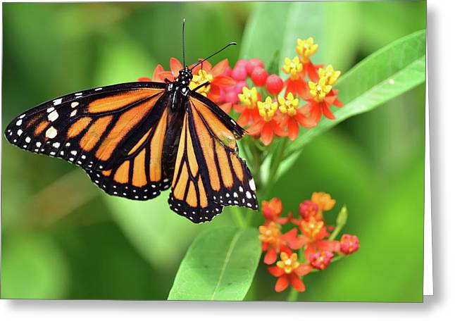 Broken Wing Butterfly Greeting Card