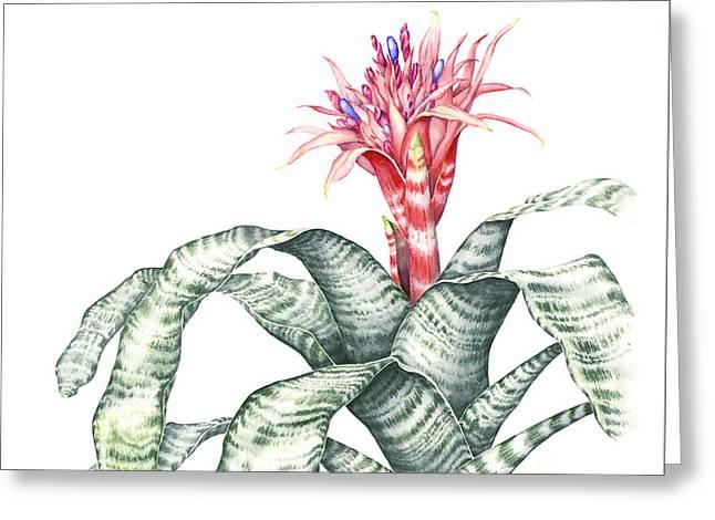 Bromeliad Aechmea Fasciata Greeting Card