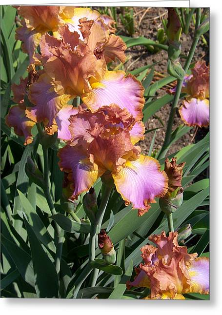 Bronze Iris Greeting Card by Lois Mountz