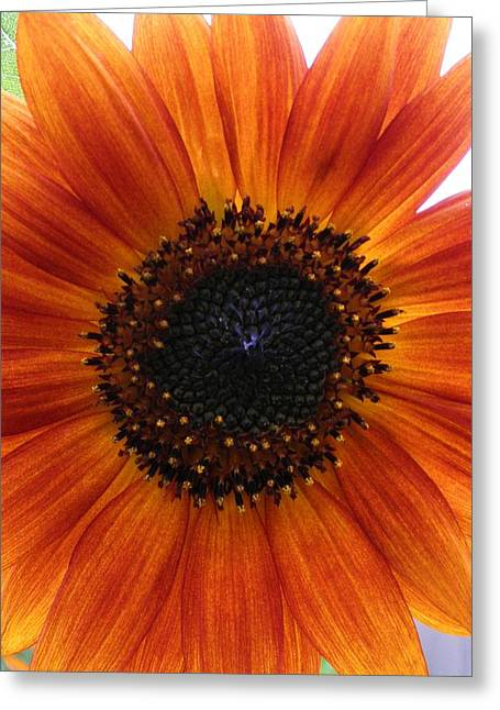 Bronze Sunflower No 2 Greeting Card by Jeanette Oberholtzer