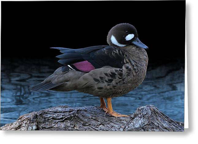 Bronze-winged Duck Greeting Card