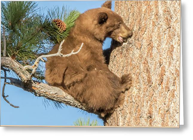 Brown Bear Cub Chewing On A Pine Tree Greeting Card by Marc Crumpler