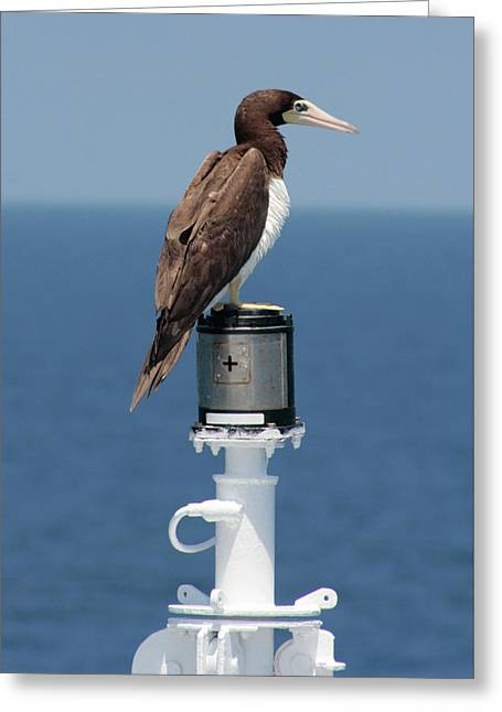 Brown Booby Greeting Card by Robert Wilder Jr