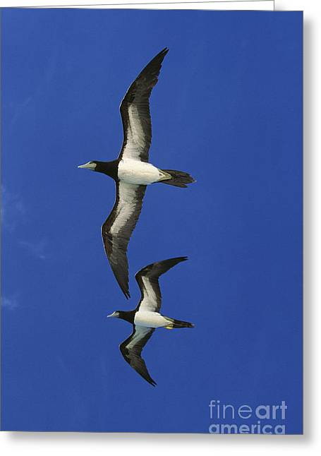 Brown Booby Sula Leucogaster Greeting Card by Gerard Lacz
