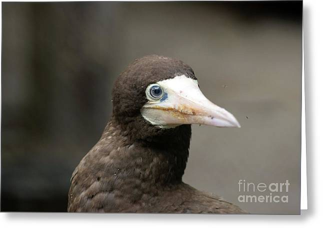 Brown Booby Greeting Card