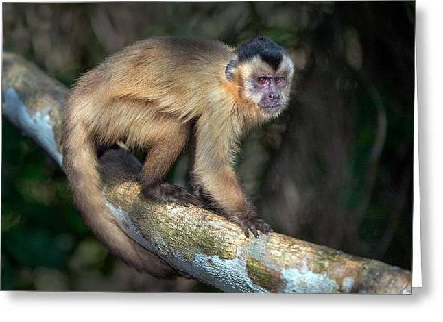 Brown Capuchin Monkey Cebus Apella Greeting Card