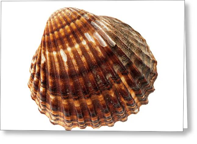 Brown Cockle Shell Greeting Card