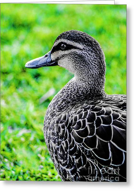 Brown Duck 1 Greeting Card
