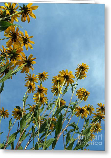 Brown-eyed Susans From Below Greeting Card by Anna Lisa Yoder