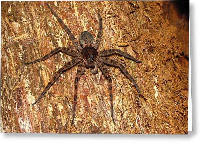 Brown Fishing Spider Greeting Card by Joshua Bales