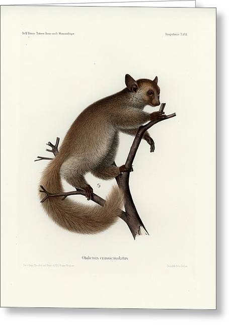 Brown Greater Galago Or Thick-tailed Bushbaby Greeting Card by Hugo Troschel and J D L Franz Wagner