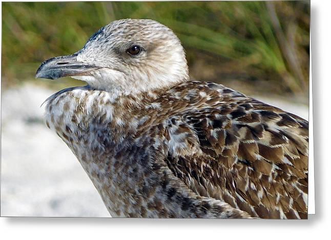 Brown Gull At Wiggins Pass Greeting Card