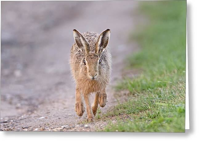 Brown Hare Approaching Down Track Greeting Card