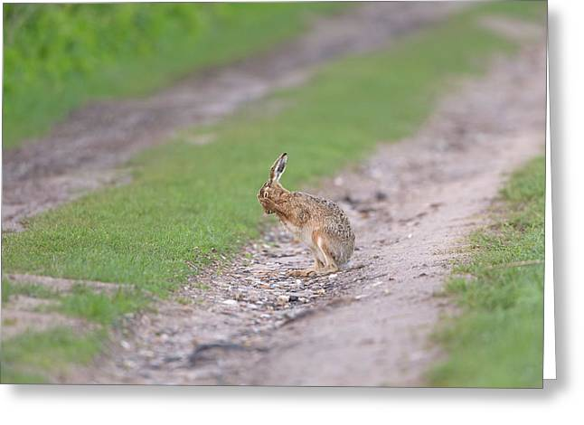 Brown Hare Cleaning Greeting Card