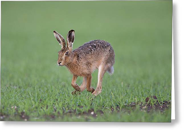 Brown Hare Running Greeting Card