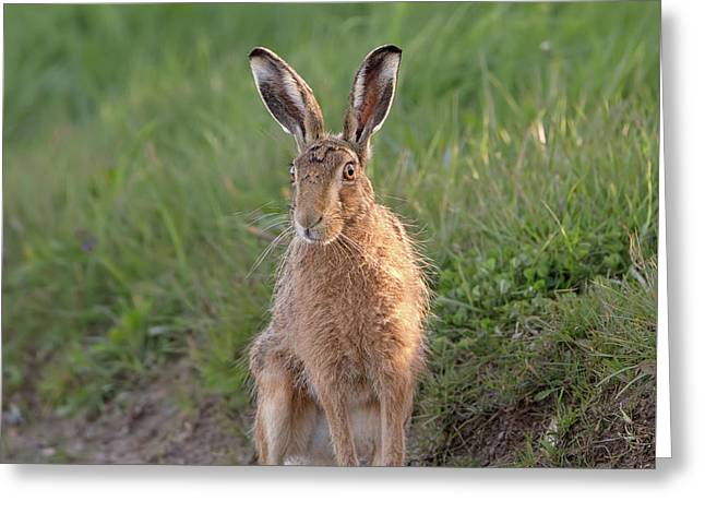 Brown Hare Sat On Track At Dawn Greeting Card
