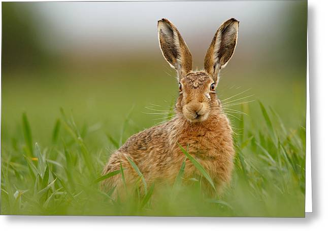 Brown Hare Stare Greeting Card