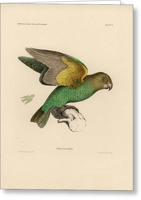 Brown-headed Parrot, Piocephalus Cryptoxanthus Greeting Card by J D L Franz Wagner