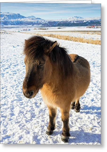 Greeting Card featuring the photograph Brown Icelandic Horse In Winter In Iceland by Matthias Hauser