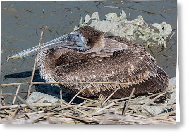 Brown Pelican 3 March 2018 Greeting Card
