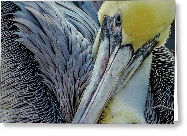 Brown Pelican Greeting Card by Bill Gallagher