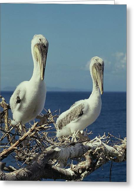 Brown Pelican Chicks In Nest  Greeting Card
